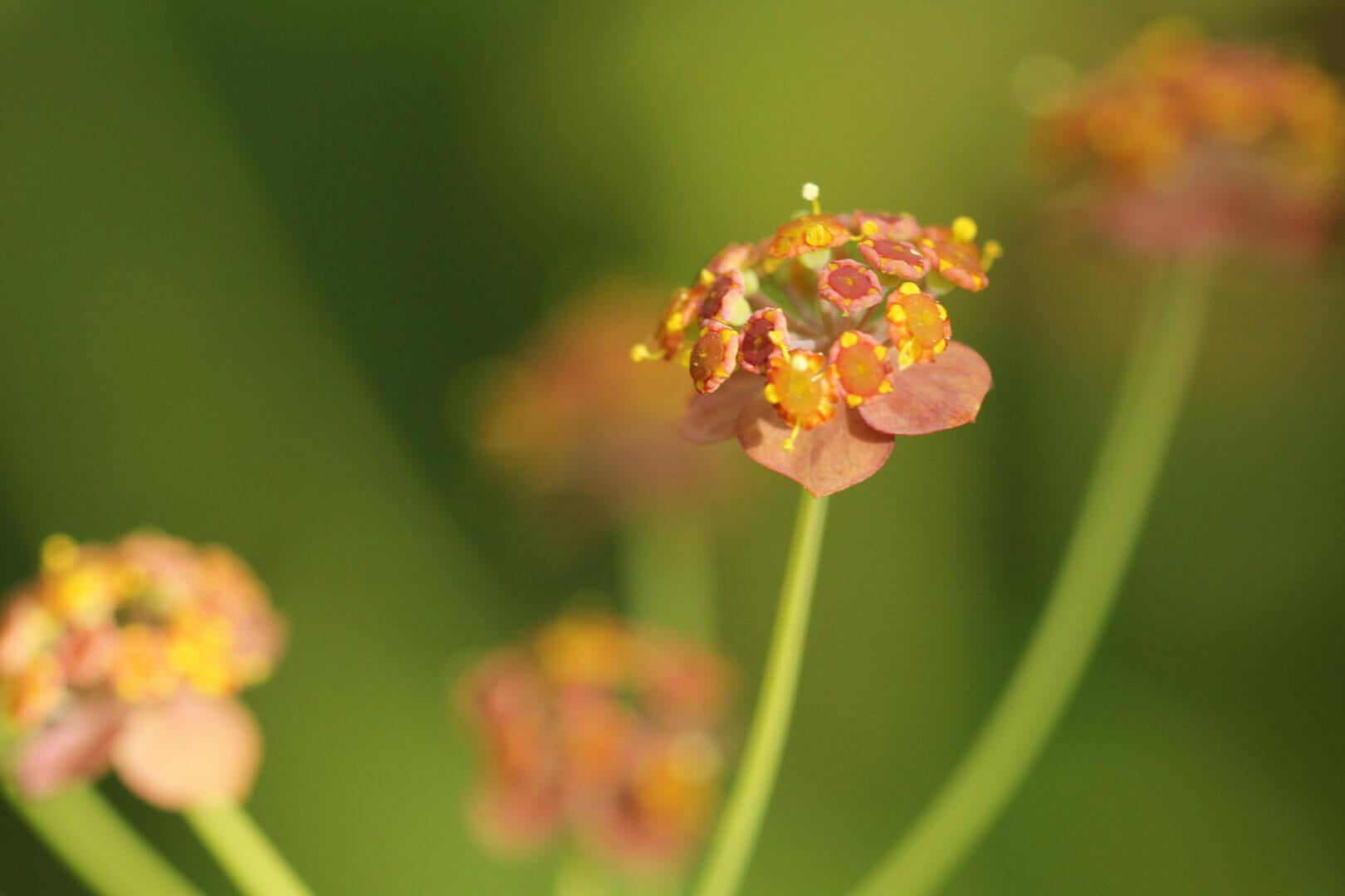 Gelbe Blüten des Hasenohrs.