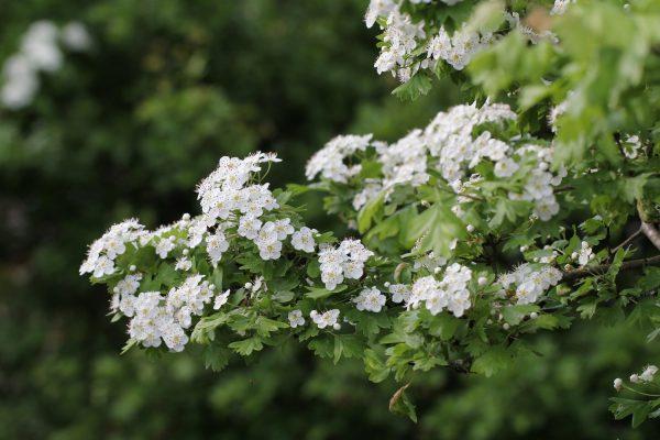 Weissdornblüten | © Beatrix Mühlethaler