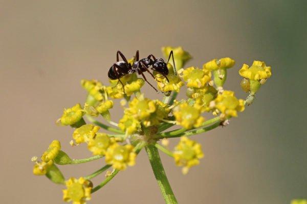Ameise auf der Blüte einer Pastinake.