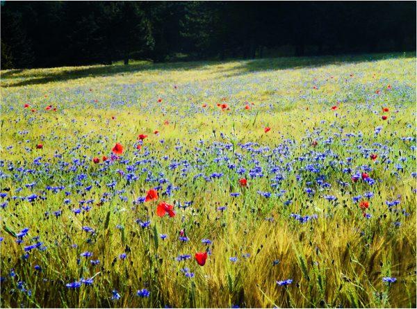 Ackerbegleitflora mit Klatschmohn und Kornblumen.