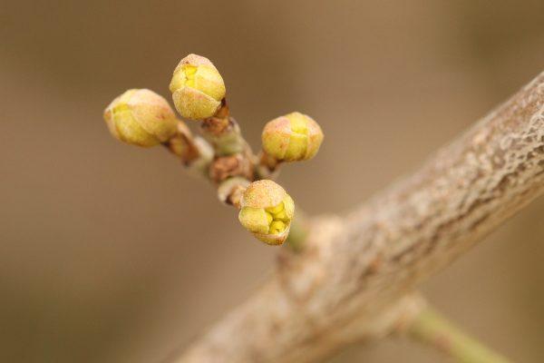 Gelbe Blüte der Kornellkirsche.