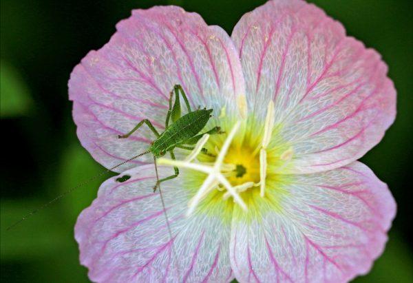 Die rosaroten Nachtkerze kann verheerend für Insekten sein.