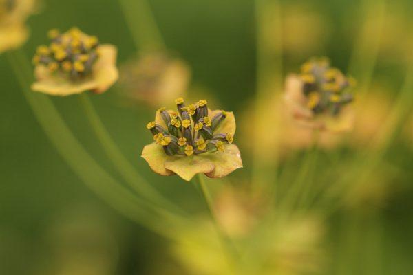 Blüte der Pflanze Hasenohr.