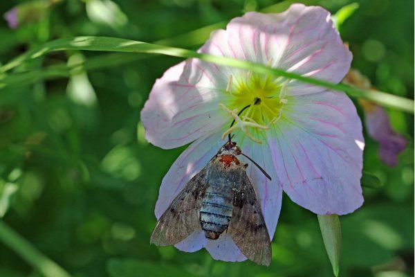 Auch Christine Dobler Gross wurde Zeugin, wie ein Taubenschwänzchen der hübschen Blume zum Opfer fiel und hat es fotografisch festgehalten. © Christine Dobler Gross