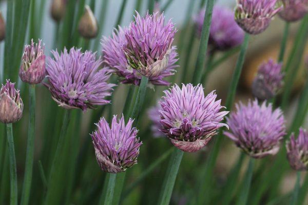 Blühender Schnittlauch ist Anziehungspunkt für viele Insekten. | © Beatrix Mühlethaler