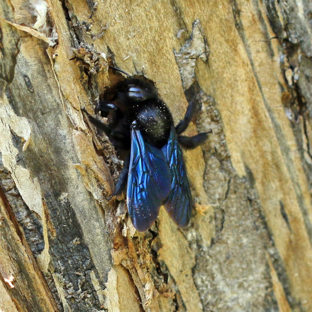 Eine blaue Holzbiene auf Totholz.