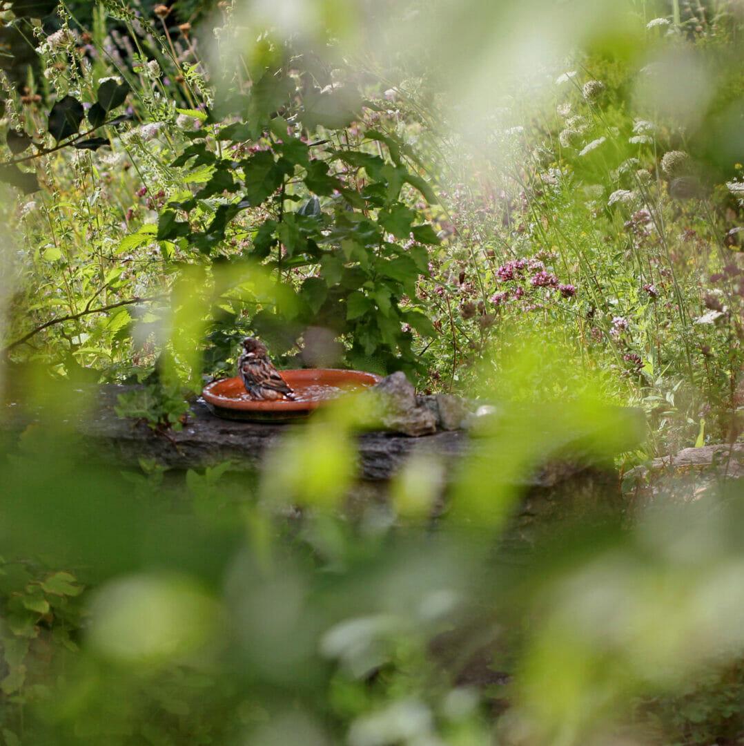 Ein Spatz nimmt im naturnahem Garten ein Bad.