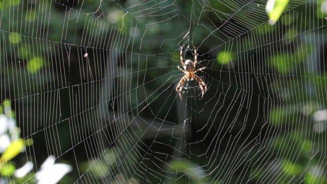 Spinnennetz mit Kreuzspinne. © Beatrix Mühlethaler