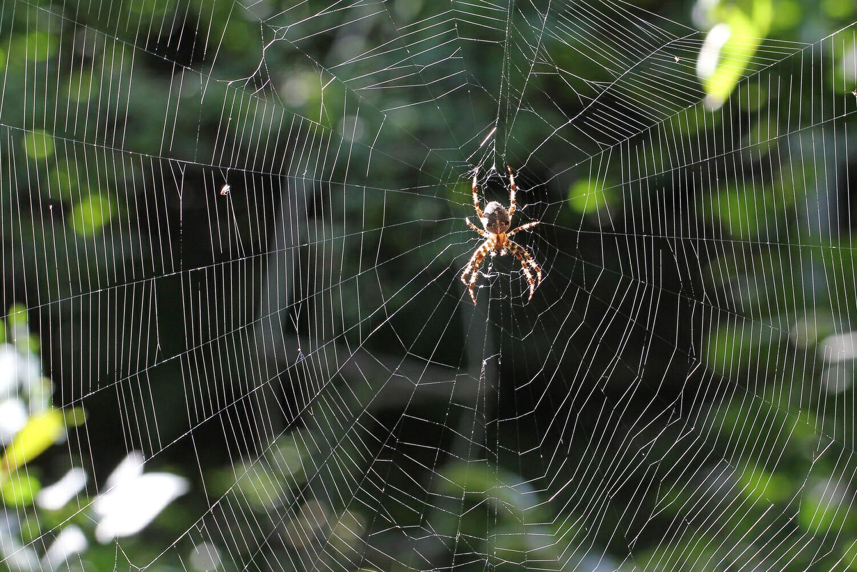 Spinnennetz mit einer Kreuzspinne.
