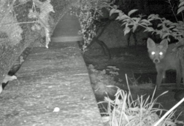 Ein Fuchs in der Nacht ist hinter den Trauben her.
