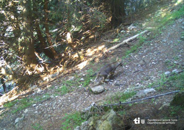 Der Nachwuchs des Wolfes ist in die Fotofalle getappt.