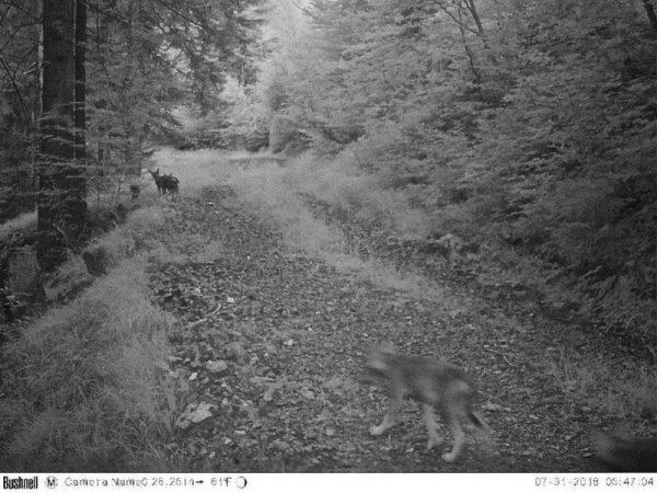 Nachwuchs des Wolfes ist in die Fotofalle getappt.