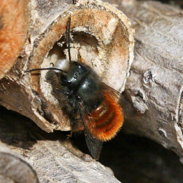 Gehörnte Mauerbiene Osmia cornuta © Christine Dobler Gross (zum Vergrössern bitte anklicken)
