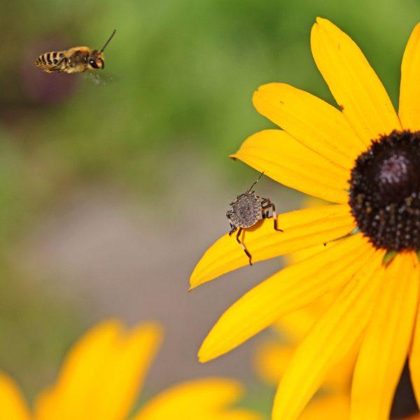 Eine Efeuseidenbiene auf einer Blüte.