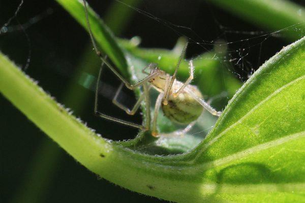 Wie viele Spinnen lebt sie im Verborgenen. © Beatrix Mühlethaler