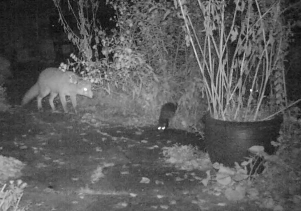 Fuchs und unbekanntes Tier in der Nacht im Garten.