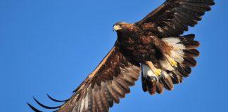 Steinadler im Flug. Er ist nun auch im Jura wieder zu beobachten.