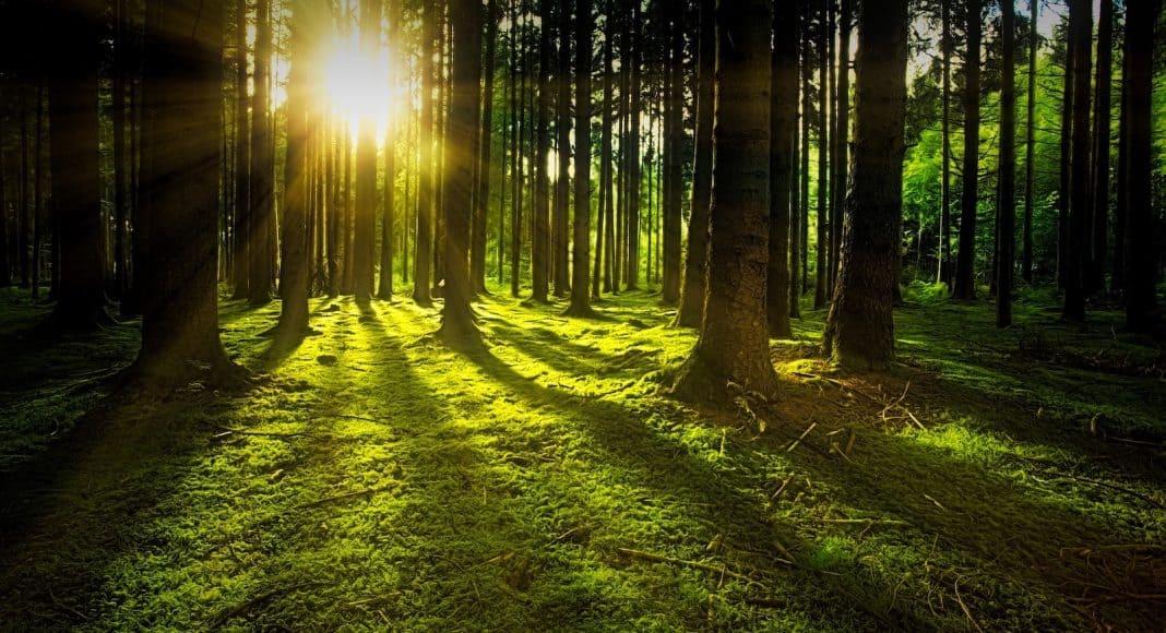 Wald mit moosbewachsendem Boden und Sonnenlicht, das durch die Bäume scheint..