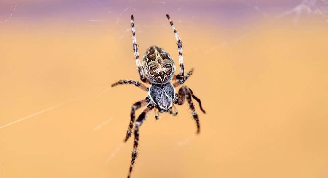Spinnen gehören nicht zu den Insekten.