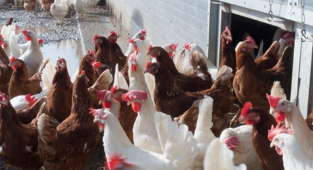 Massentierhaltung auf einer Hühnerfarm.
