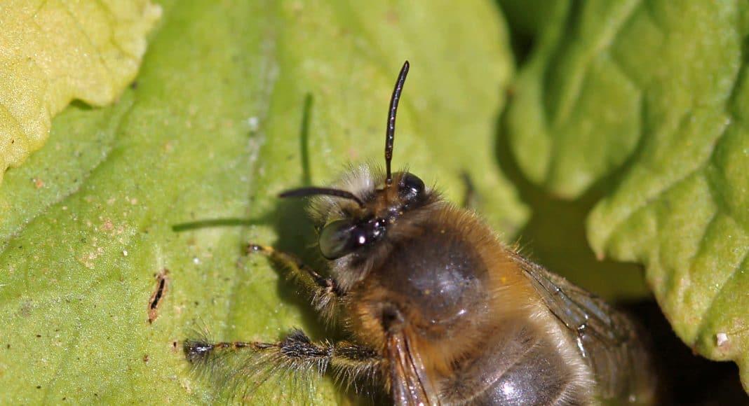 Eine Pelzbiene auf einem Blatt.