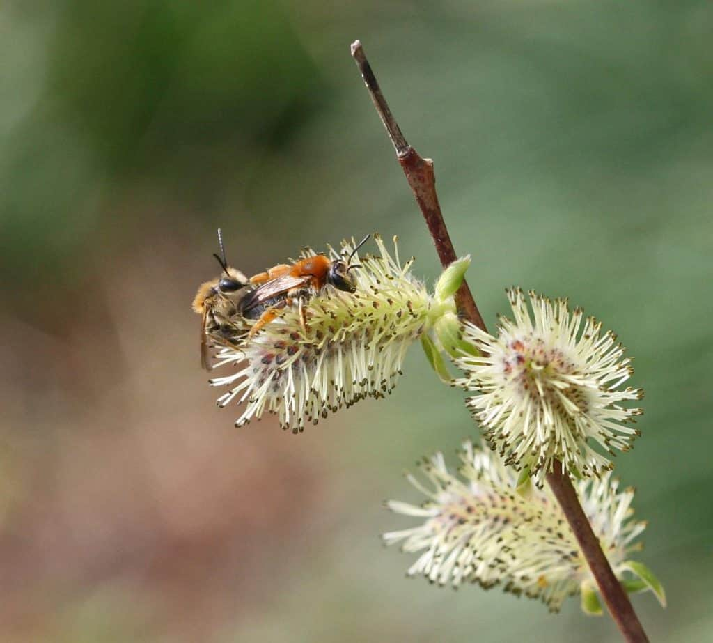 Rotschopfige Erdbiene Andrena haem.
