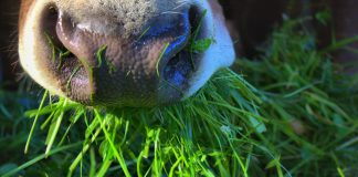 Auch in der Bio-Landwirtschaft bekommen die Kühe Kraftfutter zu fressen.