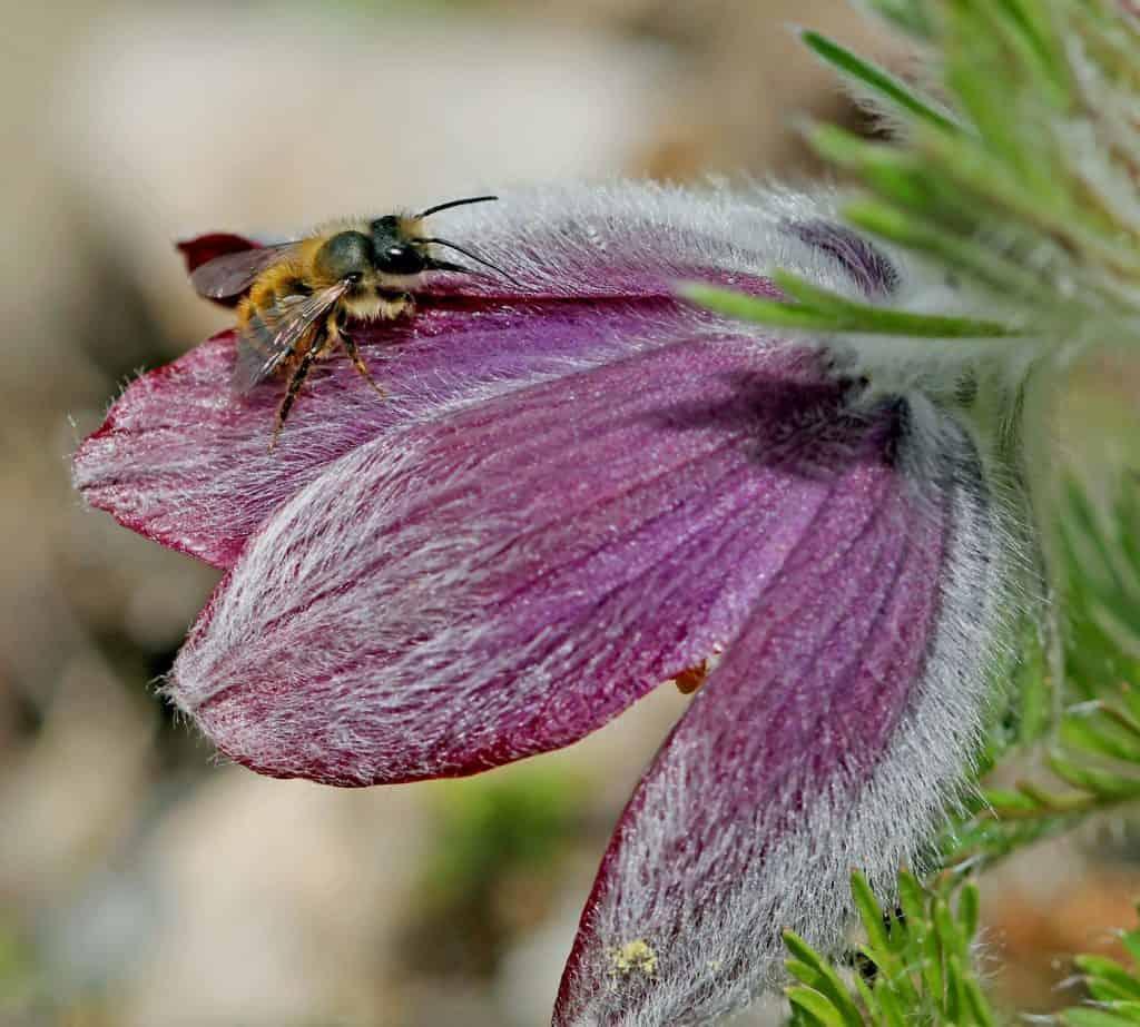 Die Wildbiene Osmia bicornis auf einer Blüte.