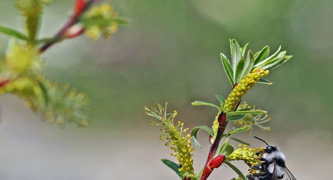 Lavendel-Weide Salix eleagnos mit Biene darauf.