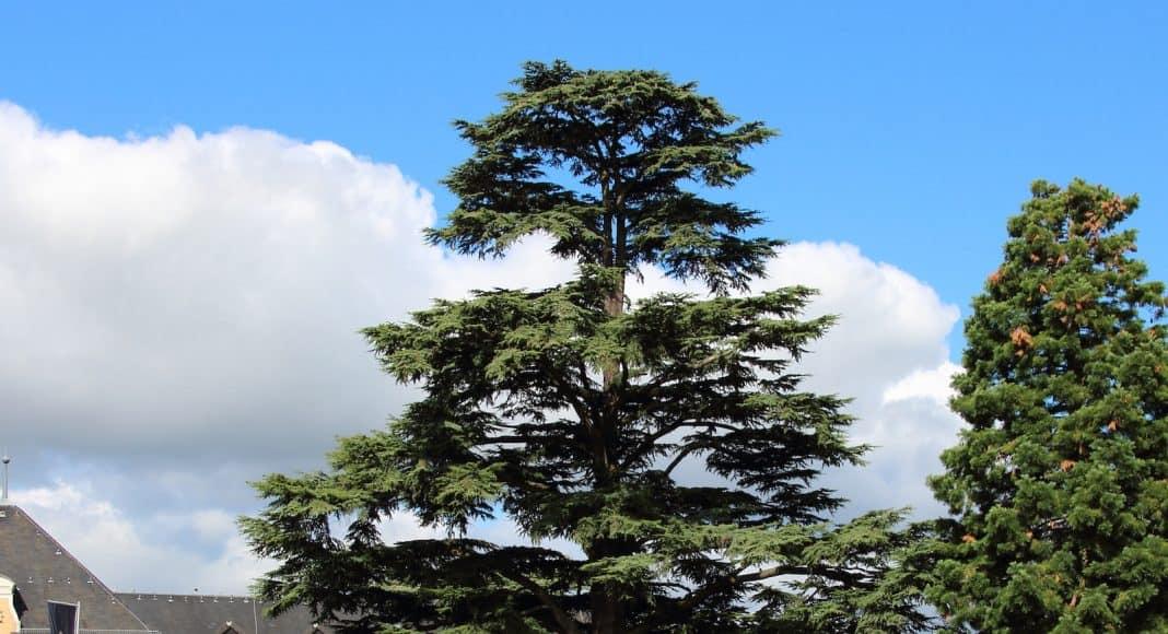 Die Libanon Zeder ist wärmeres Klima gewohnt.