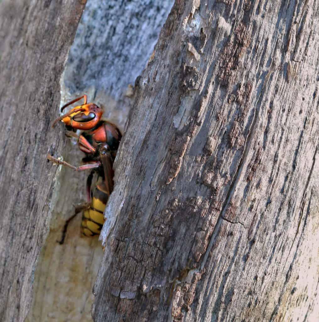 Eine Hornisse raspelt Holz für ihr Nest.