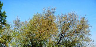 Ein Maulbeerbaum.
