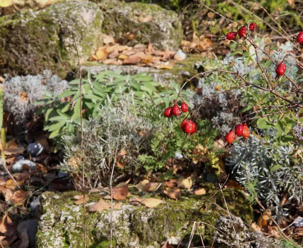 Sumpf-Wolfsmilch (Euphorbia palustris) im Gartenbeet.
