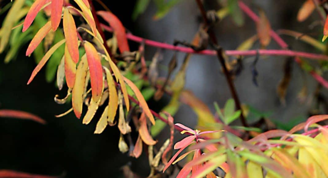 Sumpf-Wolfsmilch ( Euphorbia palustris) Herbst