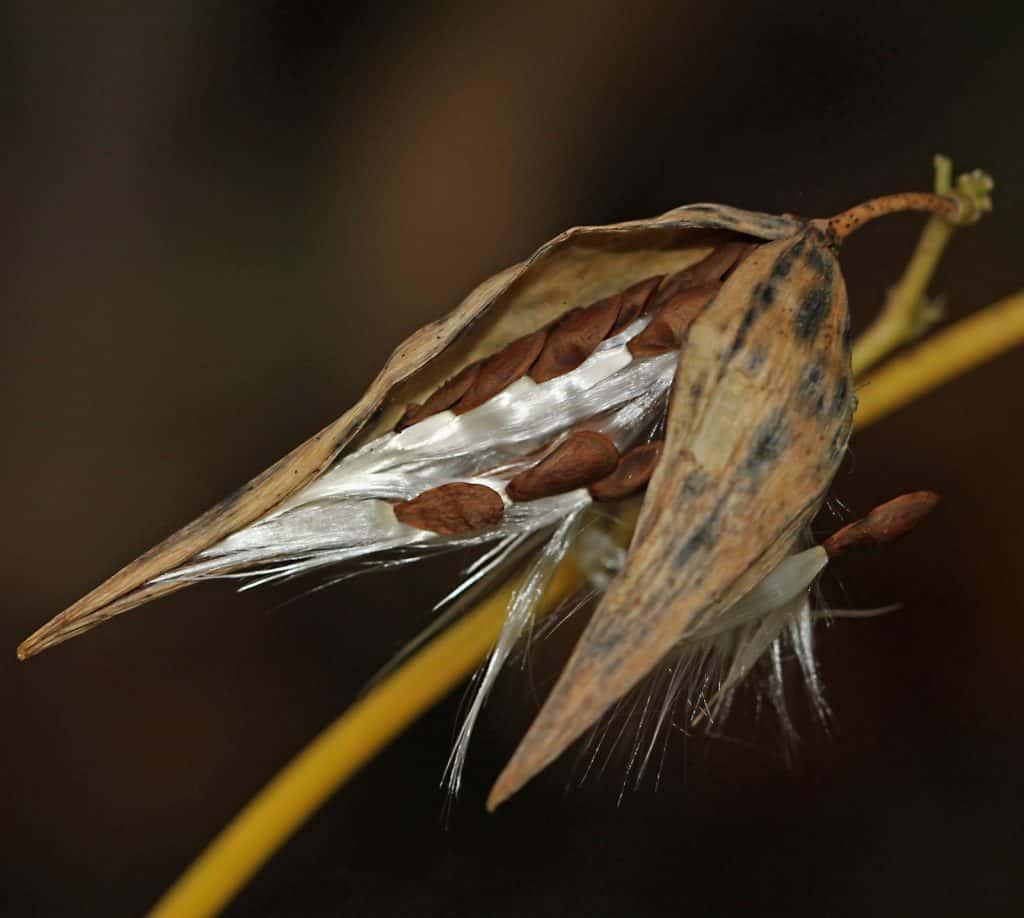 Schwalbenwurz (Vinecetoxicum hirundinaria) bringt Herbststimmung auf.