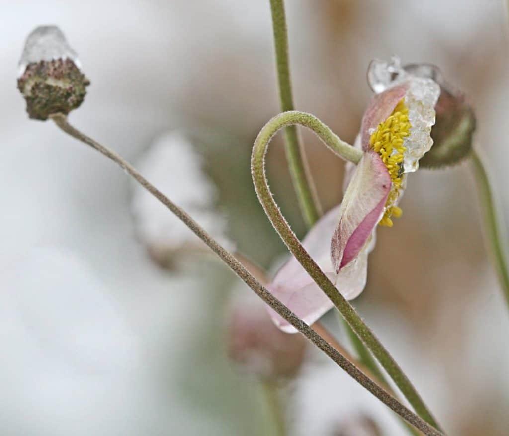 Blüte einer Blume mit etwas gefrorenem Eis darauf.