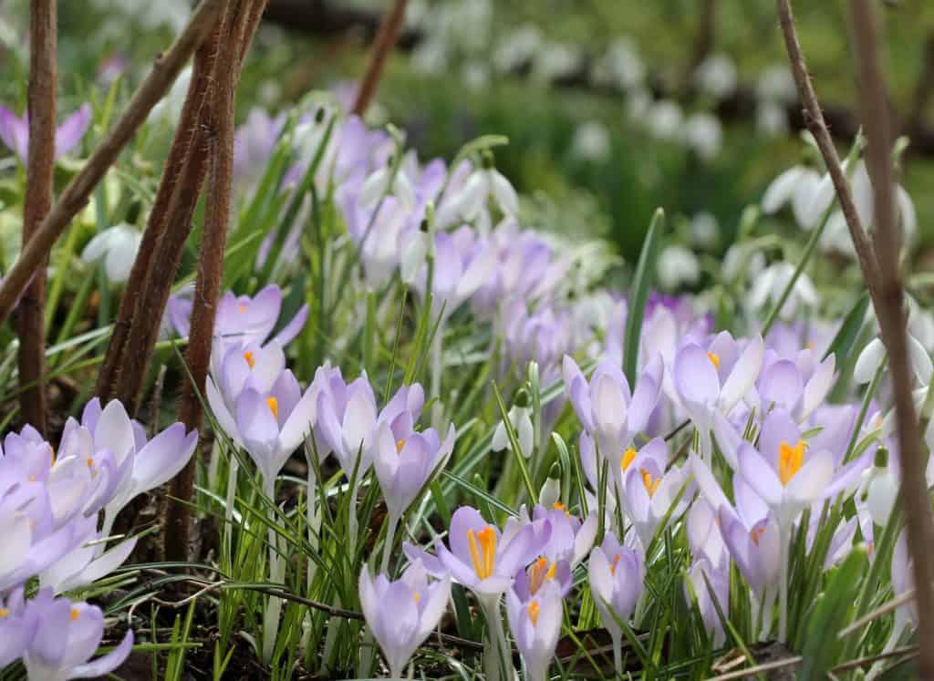 Ein Feld von Krokussen, Frühlingsblumen.