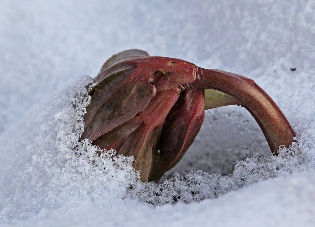 Die Christrose kämpft mit dem Schnee.