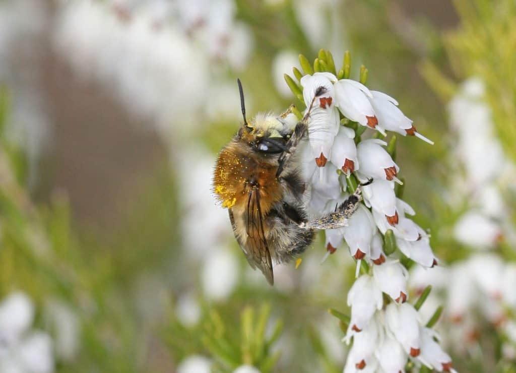 Eine Pelzbiene an der weissblütigen Schneeheide (Erica carnea var. alba) .