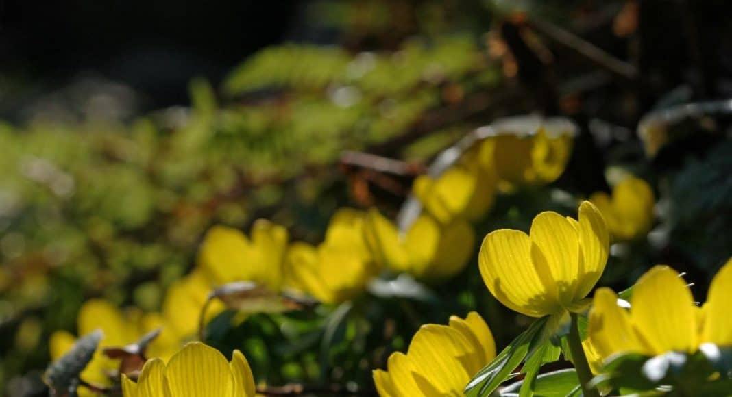 Winterlinge, die ersten Blumen im Frühling.