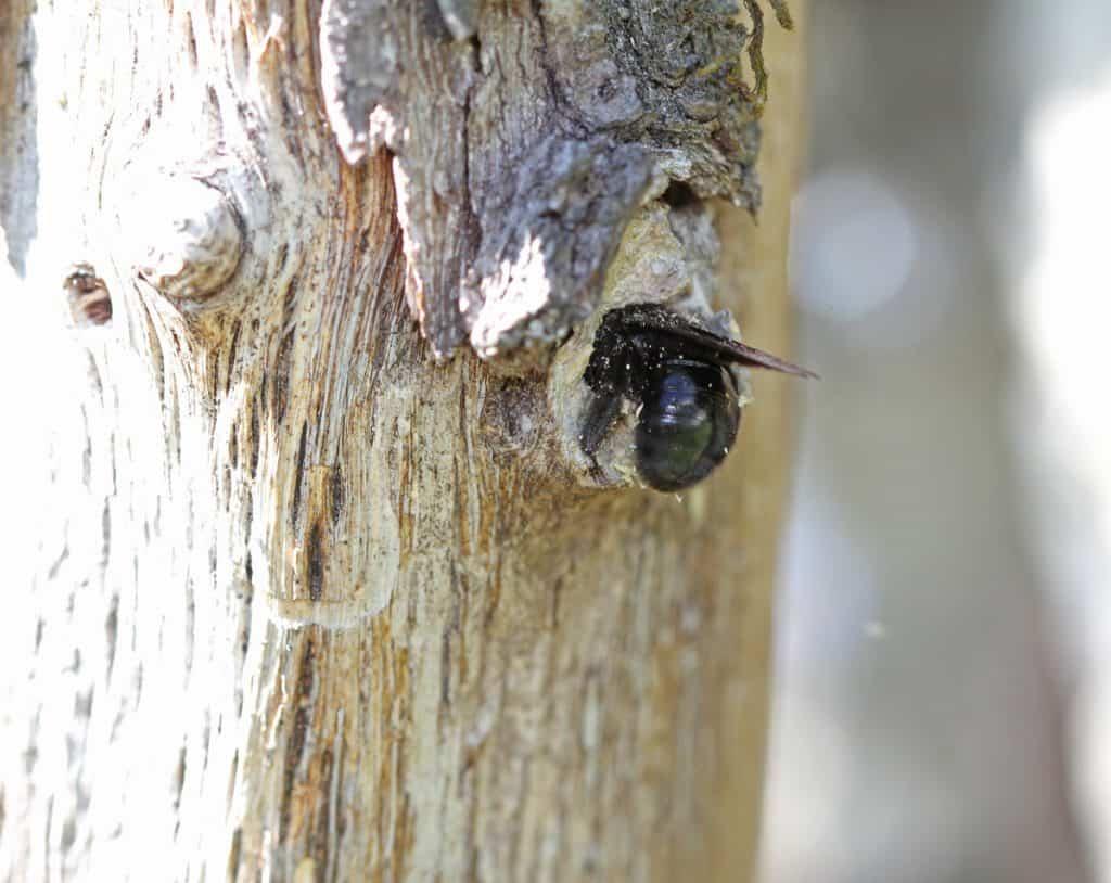 Die Blaue Holzbiene Xylocopa violacea schlüpft in ihre Loch im Holz.