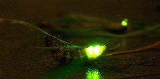 Glühwürmchen ist kein Wurm, sondern ein Käfer.