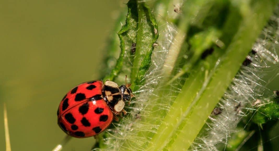 Der asiatische Marienkäfer gehört zu den invasiven Neozoen.