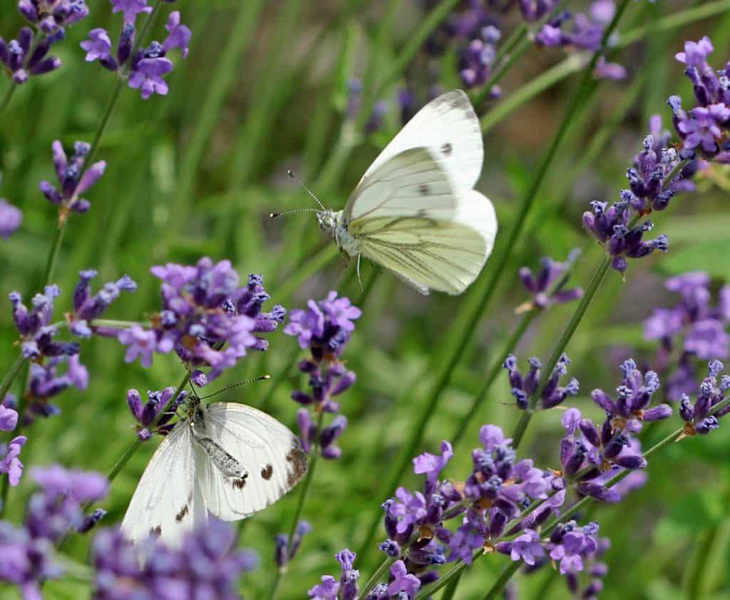 Zwei Weisslinge auf Lavendel.