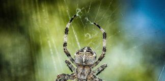 Bisse von Spinnentiere, hier eine Kreuzspinne, sind meistens harmlos.