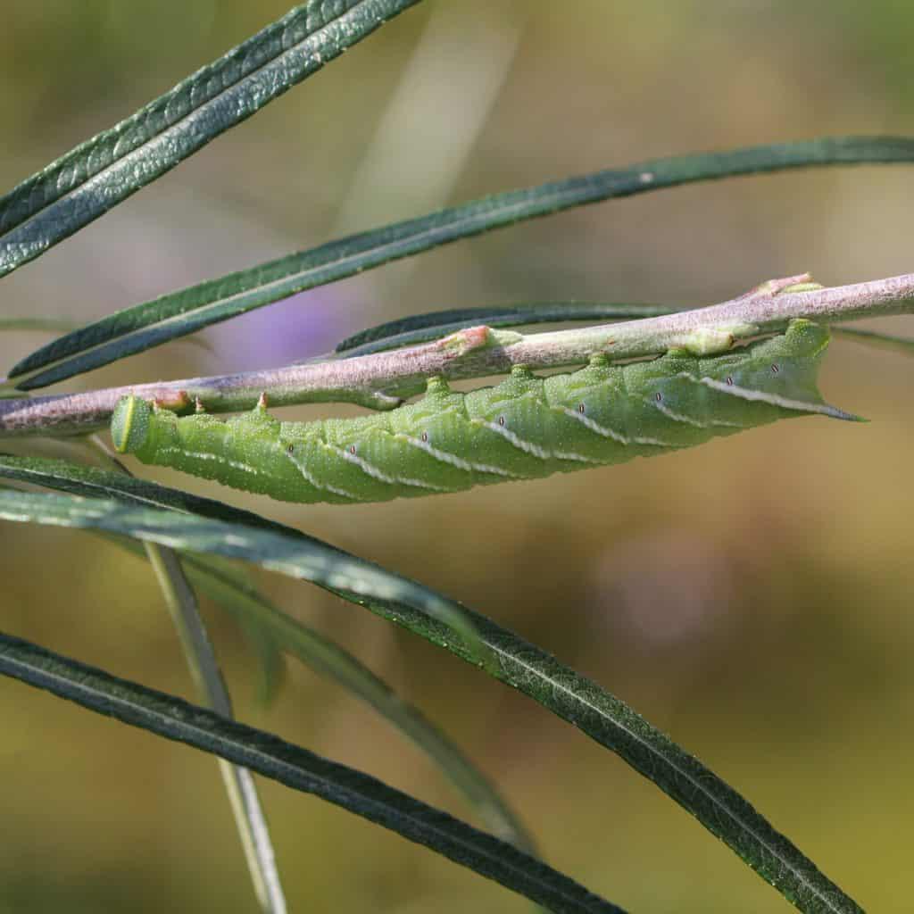 Die Raupe eines Abendpfauenauges an unserer Lavendel-Weide Salix eleagnos