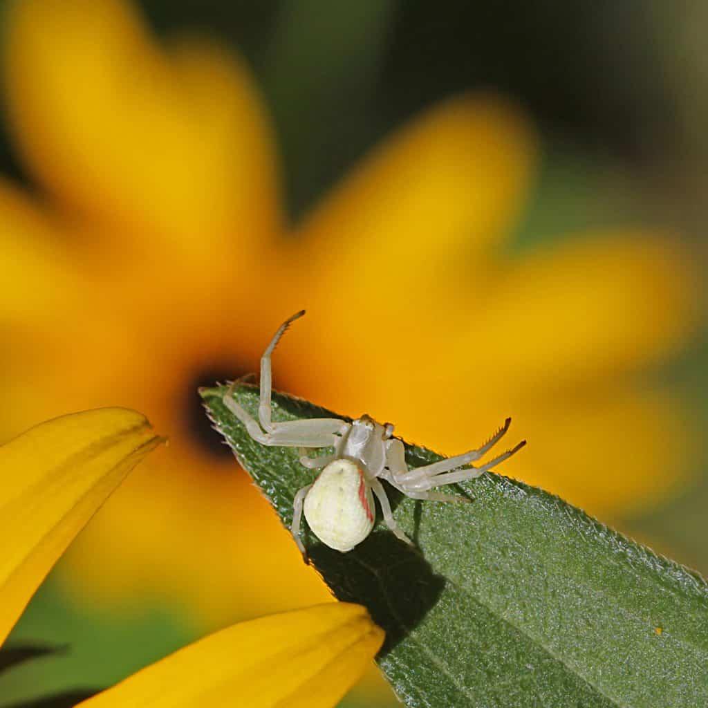 Krabbenspinne auf einer Blüte.