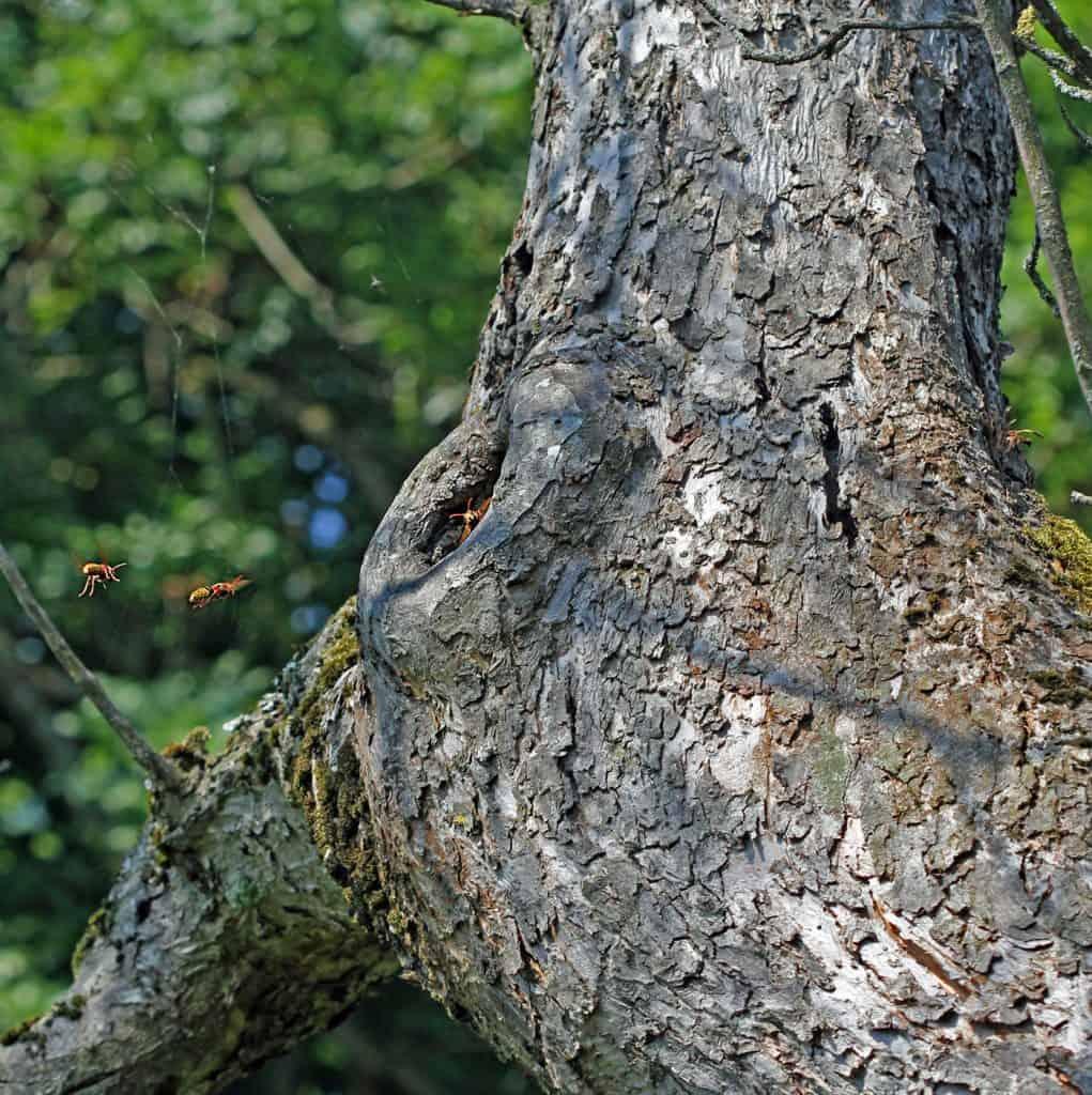 Hornisse mit dem Nest in einer Baumhöhle.
