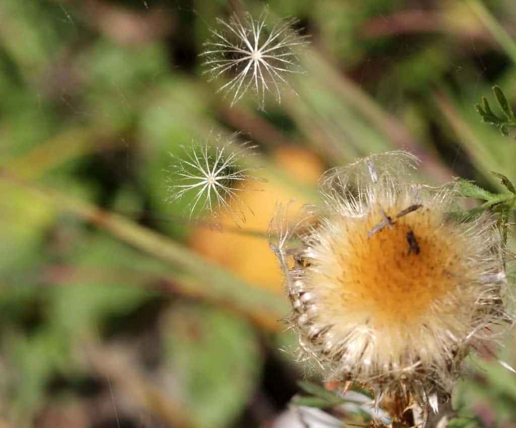 Eine Golddistel verliert ihre Samen.