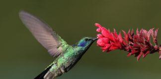 Ein Kolibri trinkt von einer Blüte.